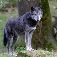 Northwestern wolf (Canis lupus occidentalus)