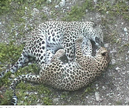 Persian leopard and leopardess