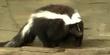 Pittsburgh Zoo Skunk