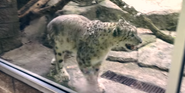 Pittsburgh Zoo Snow Leopard