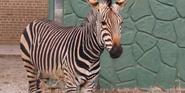 Racine Zoo Hartmann's Mountain Zebra