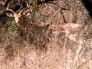 Scout's Safari Antelope