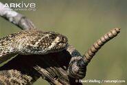 Western-diamond-backed-rattlesnake