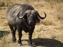 Buffalo, African.jpg