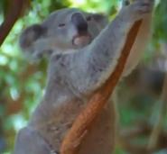 Cincinnati Zoo Koala