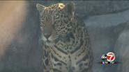 El Paso Zoo Jaguar