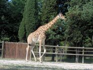 Giraffa camelopardalis antiquorum (Vincennes Zoo) 2