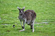 Grey Kangaroo, Western