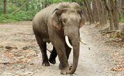 Indian Elephant (V2).jpg