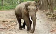 Indian Elephant (V2)