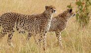 Male and Female Tanzanian Cheetahs