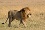 Masai Lion (V2)