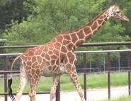 Natural Bridge Wildlife Ranch Giraffe