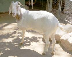 Nubian Goat.jpg