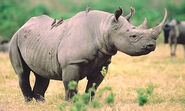 Rhinoceros, East African Black