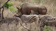 Rhinoceros and Zebras