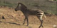 San Diego Zoo Safari Park Mountain Zebra