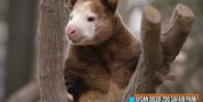 San Diego Zoo Tree Kangaroo