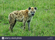 Spotted-hyena-in-savanna-masai-mara-kenya-east-africa-CREYAC.jpg
