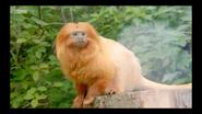 The Zoo Lion Tamarin