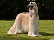 Afghan-hound1