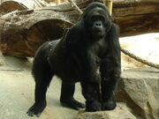 Antwerpen Zoo 12-08-2010 Gorilla beringei graueri F-Amahoro ISB-9922 001s.jpg