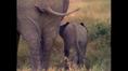 Baby Rhinoceroses Baby Cheetahs Baby Elephants