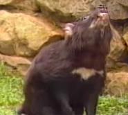 Canberra Zoo Tasmanian Devil