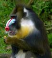 Chester Zoo Mandrill