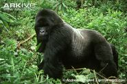 Gorilla, Eastern