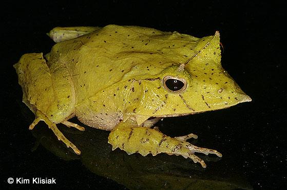 Ceratobatrachus