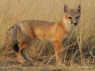 Fox, Swift