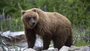 Grizzly Bear (V3)
