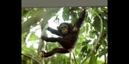 MGPAM Chimpanzee