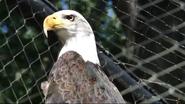 Maryland Zoo Eagle