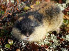 Norway Lemming.jpg