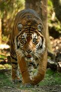 Tiger LG