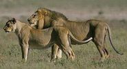 West African Lion and Lioness