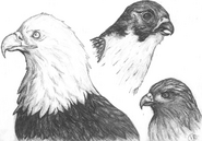 Bald Eagle, Red-Tailed Hawk, and Peregrine Falcon