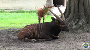 Baton Rouge Zoo Bongo