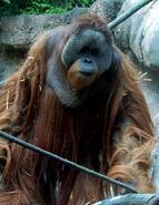 Bornean orangutan 2