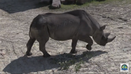 Cleveland Zoo Rhino (V2)