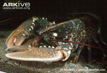 Common-lobster.jpg