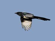 Common Magpie (V2)