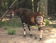 Dallas Zoo Okapi
