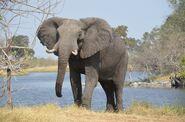 Elephant, East African Bush (V2)