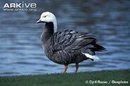 Emperor-goose