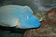 Humphead wrasse melb aquarium.jpg