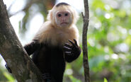 White faced capuchin 2 wp