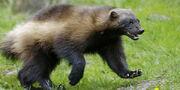 Wolverine (Animals).jpg